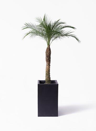 観葉植物 フェニックスロベレニー 8号 セドナロング 墨 付き