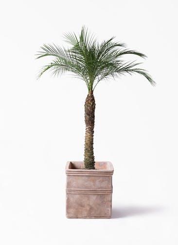 観葉植物 フェニックスロベレニー 8号 テラアストラ カペラキュビ 赤茶色 付き