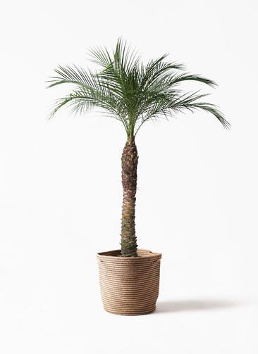 観葉植物 フェニックスロベレニー 8号 リブバスケットNatural 付き
