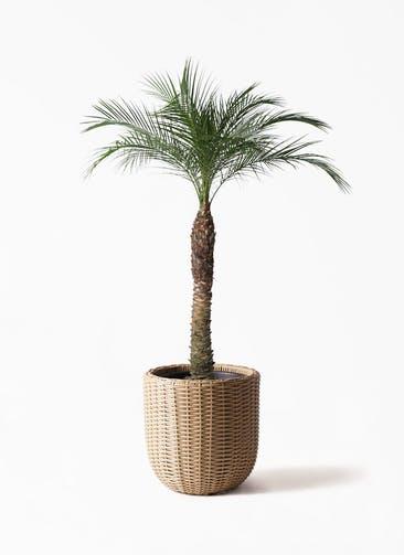 観葉植物 フェニックスロベレニー 8号 ウィッカーポットエッグ ベージュ 付き