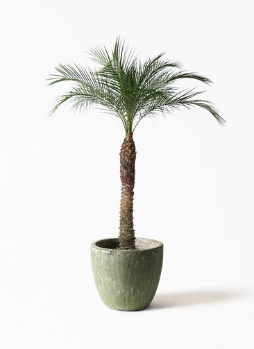 観葉植物 フェニックスロベレニー 8号 アビスソニアミドル 緑 付き