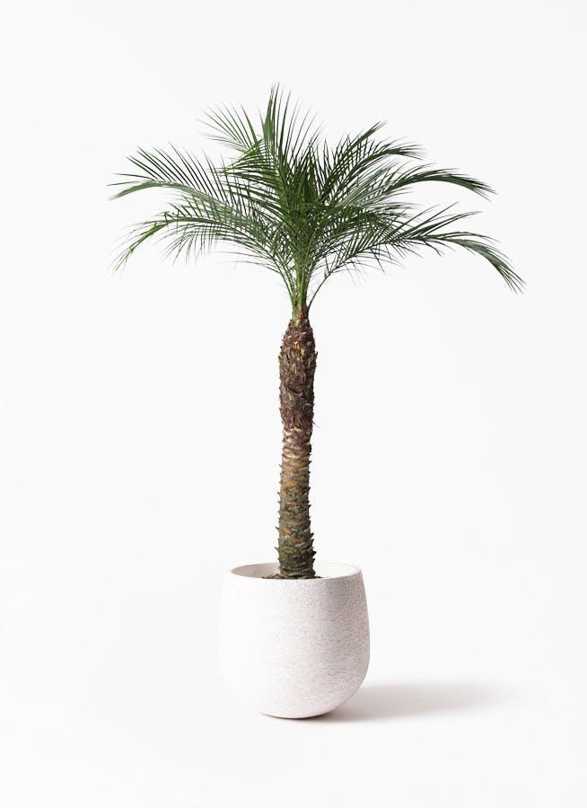 観葉植物 フェニックスロベレニー 8号 エコストーンwhite 付き