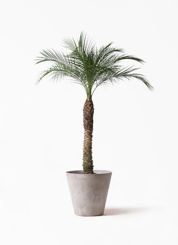 観葉植物 フェニックスロベレニー 8号 アートストーン ラウンド グレー 付き