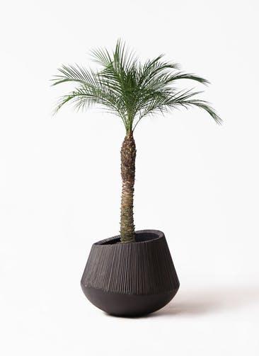 観葉植物 フェニックスロベレニー 8号 エディラウンド 黒 付き