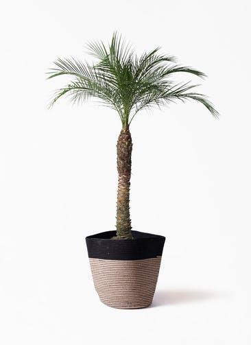 観葉植物 フェニックスロベレニー 8号 リブバスケットNatural and Black 付き