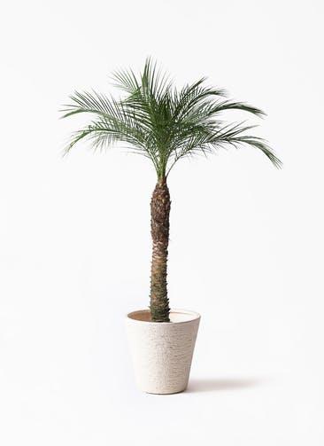 観葉植物 フェニックスロベレニー 8号 ビアスソリッド 白 付き