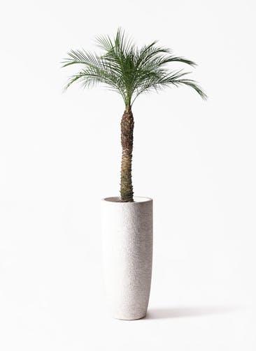 観葉植物 フェニックスロベレニー 8号 エコストーントールタイプ white 付き