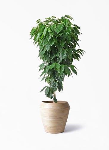 観葉植物 コーヒーの木 10号 アルマ ミドル 付き