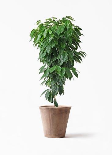 観葉植物 コーヒーの木 10号 ルーガ アンティコ ソリッド 付き