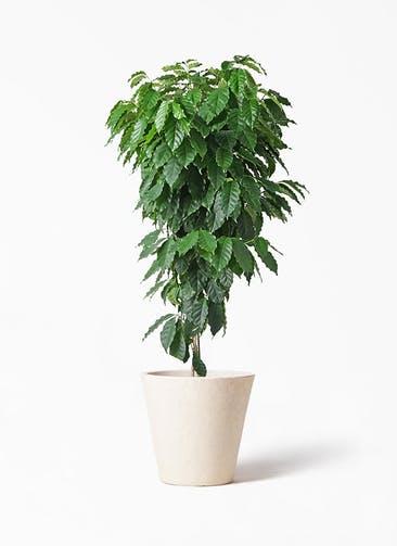 観葉植物 コーヒーの木 10号 フォリオソリッド クリーム 付き