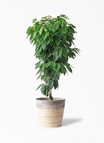 観葉植物 コーヒーの木 10号 アルマ コニック 白 付き
