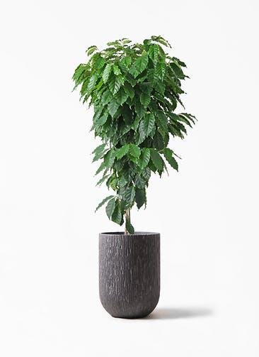 観葉植物 コーヒーの木 10号 カルディナトールダークグレイ 付き