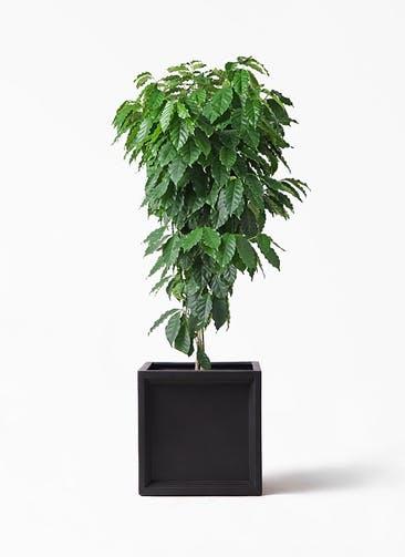 観葉植物 コーヒーの木 10号 ブリティッシュキューブ 付き