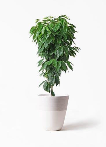観葉植物 コーヒーの木 10号 ジュピター 白 付き
