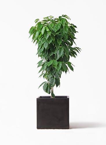 観葉植物 コーヒーの木 10号 ファイバークレイ キューブ 付き