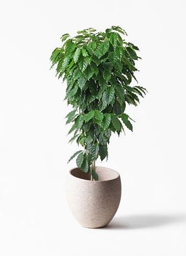 観葉植物 コーヒーの木 10号 エコストーンLight Gray 付き