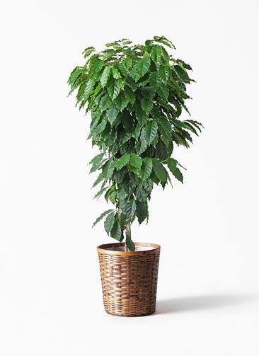 観葉植物 コーヒーの木 10号 竹バスケット 付き