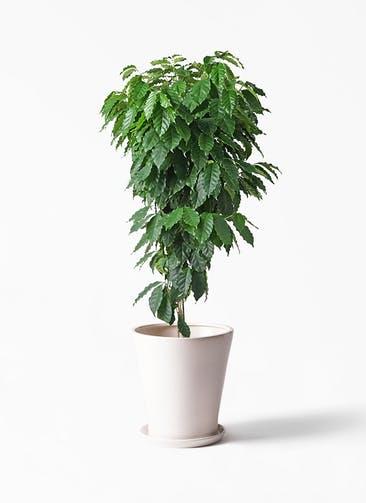 観葉植物 コーヒーの木 10号 サブリナ 白 付き