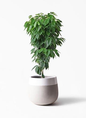 観葉植物 コーヒーの木 10号 ファイバーストーンタウルス ミドル 白 付き