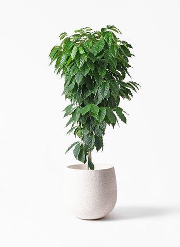 観葉植物 コーヒーの木 10号 エコストーンwhite 付き