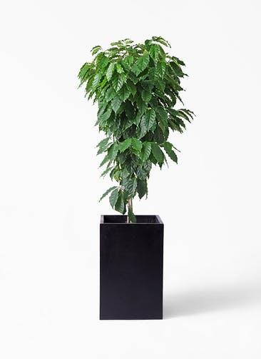 観葉植物 コーヒーの木 10号 セドナロング 墨 付き