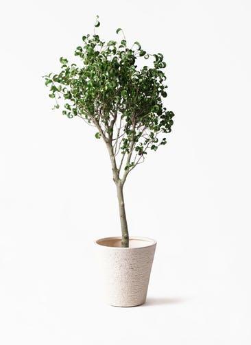 観葉植物 フィカス ベンジャミン 8号 シタシオン ビアスソリッド 白 付き