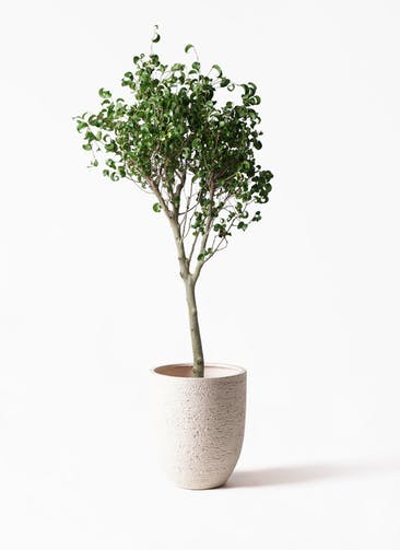 観葉植物 フィカス ベンジャミン 8号 シタシオン ビアスアルトエッグ 白 付き