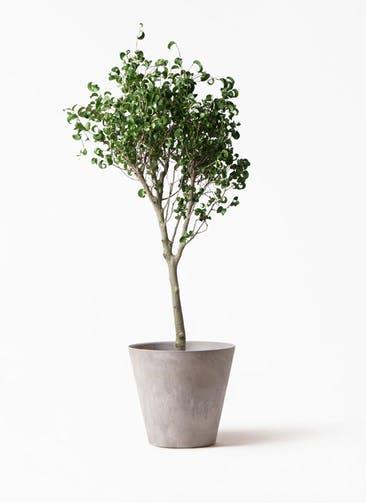 観葉植物 フィカス ベンジャミン 8号 シタシオン アートストーン ラウンド グレー 付き