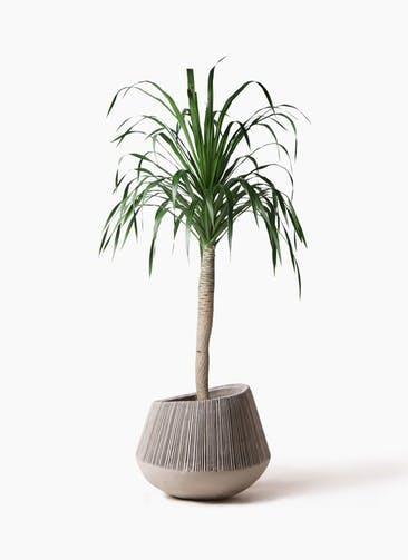 観葉植物 ドラセナ ドラコ 8号 エディラウンド グレイ 付き