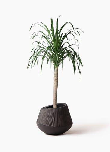 観葉植物 ドラセナ ドラコ 8号 エディラウンド 黒 付き