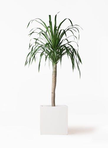 観葉植物 ドラセナ ドラコ 8号 バスク キューブ 付き