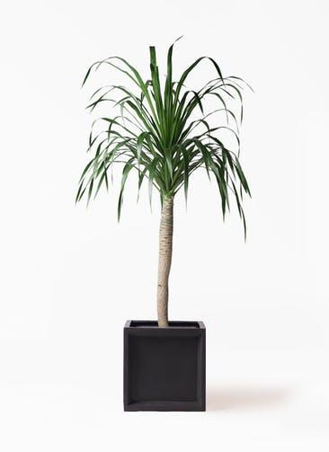 観葉植物 ドラセナ ドラコ 8号 ブリティッシュキューブ 付き