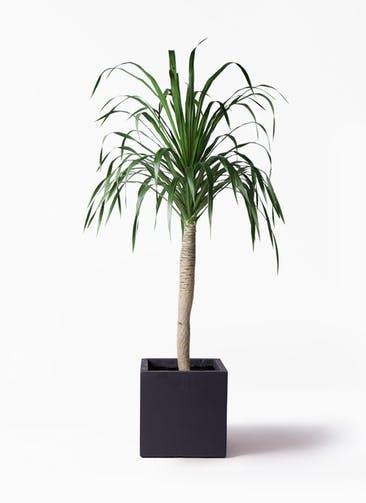 観葉植物 ドラセナ ドラコ 8号 ベータ キューブプランター 黒 付き