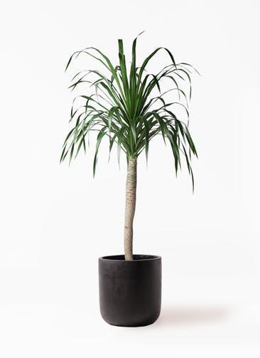 観葉植物 ドラセナ ドラコ 8号 エルバ 黒 付き