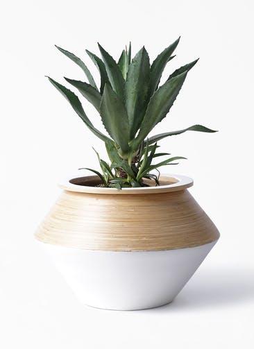 観葉植物 アガベ 8号 アメリカーナ アルマジャー 白
