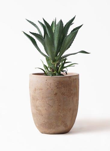 観葉植物 アガベ 8号 アメリカーナ ルーガ アンティコ アルトエッグ 付き