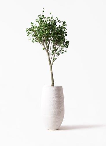 観葉植物 フィカス ベンジャミン 8号 シタシオン フォンティーヌトール 白 付き