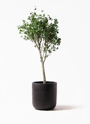 観葉植物 フィカス ベンジャミン 8号 シタシオン エルバ 黒 付き