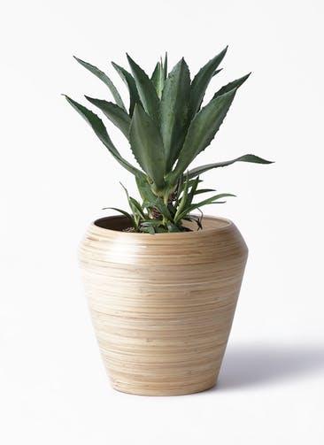 観葉植物 アガベ 8号 アメリカーナ アルマ ミドル 付き