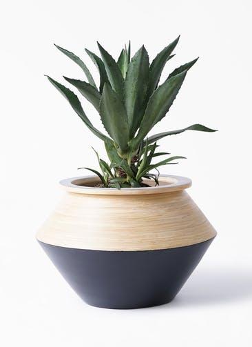観葉植物 アガベ 8号 アメリカーナ アルマジャー 黒
