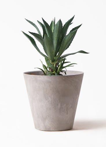 観葉植物 アガベ 8号 アメリカーナ アートストーン ラウンド グレー 付き