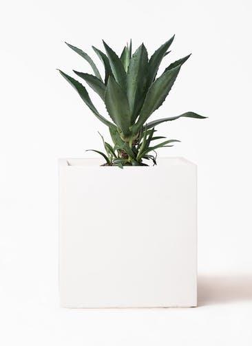 観葉植物 アガベ 8号 アメリカーナ バスク キューブ 付き