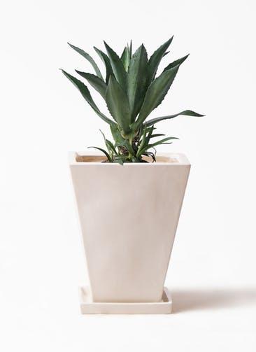 観葉植物 アガベ 8号 アメリカーナ スクエアハット 白 付き
