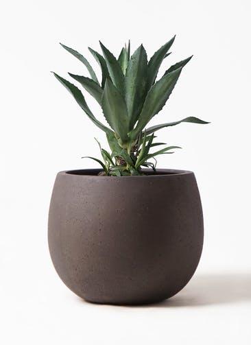 観葉植物 アガベ 8号 アメリカーナ テラニアス ローバルーン アンティークブラウン 付き