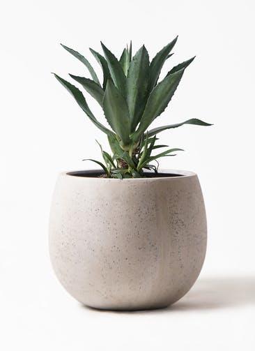 観葉植物 アガベ 8号 アメリカーナ テラニアス ローバルーン アンティークホワイト 付き