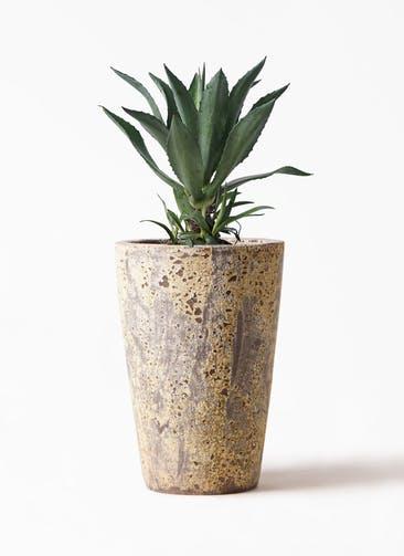 観葉植物 アガベ 8号 アメリカーナ アトランティス クルーシブル 付き