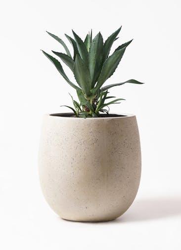観葉植物 アガベ 8号 アメリカーナ テラニアス バルーン アンティークホワイト 付き