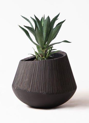 観葉植物 アガベ 8号 アメリカーナ エディラウンド 黒 付き