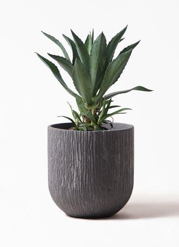 観葉植物 アガベ 8号 アメリカーナ カルディナダークグレイ 付き