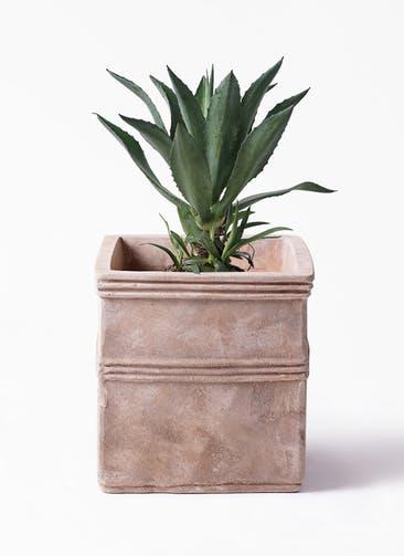 観葉植物 アガベ 8号 アメリカーナ テラアストラ カペラキュビ 赤茶色 付き
